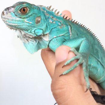 Rồng Nam Mỹ Xanh Dương - Blue Axanthic Iguana 5