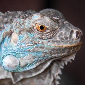 Rồng Nam Mỹ Xanh Dương - Blue Axanthic Iguana 6