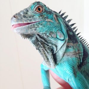 Rồng Nam Mỹ Xanh Dương - Blue Axanthic Iguana 7