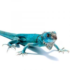 Rồng Nam Mỹ Xanh Dương - Blue Axanthic Iguana 8