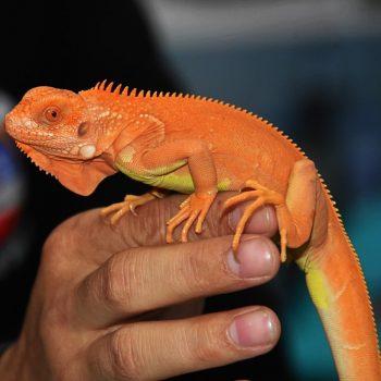 Rồng Nam Mỹ Đỏ Hypo - Red Hypo Iguana 1