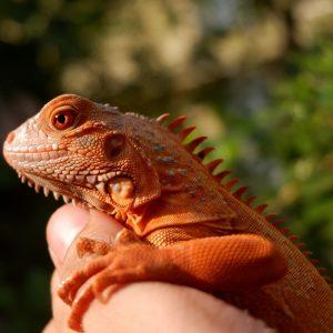 Rồng Nam Mỹ Đỏ Hypo - Red Hypo Iguana 2
