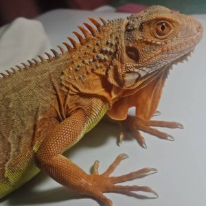 Rồng Nam Mỹ Đỏ Hypo - Red Hypo Iguana 3