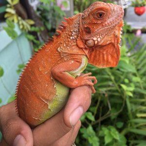 Rồng Nam Mỹ Đỏ Hypo - Red Hypo Iguana 4
