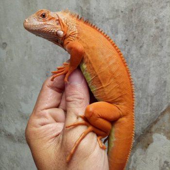 Rồng Nam Mỹ Đỏ Hypo - Red Hypo Iguana 5