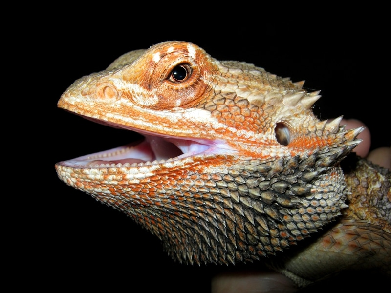 Rồng Úc Bearded Dragon 6