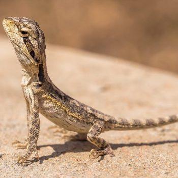 Rồng Úc size nhỏ màu normal