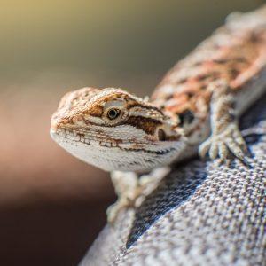 Rồng Úc tự nhiên