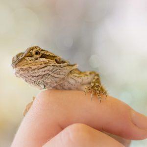 Rồng Úc mới sinh