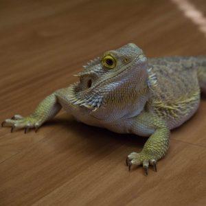 Rồng Úc Normal size trưởng thành