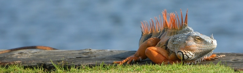 Top 10 loài Rồng Nam Mỹ phổ biến đẹp nhất trên thế giới 1