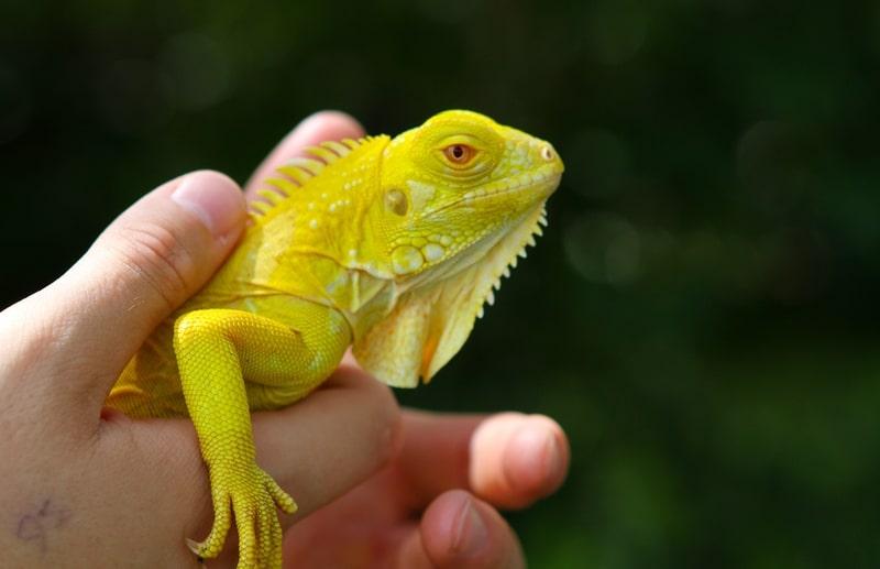 Top 10 loài Rồng Nam Mỹ phổ biến đẹp nhất trên thế giới 5