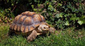 Rùa Sulcata trưởng thành