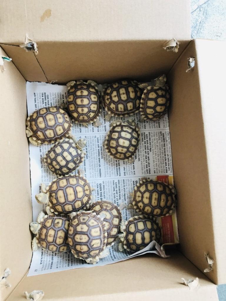 Giá Rùa Sulcata - Rùa Châu Phi Nhập Khẩu Bao Nhiêu? Cập Nhật 2020 5