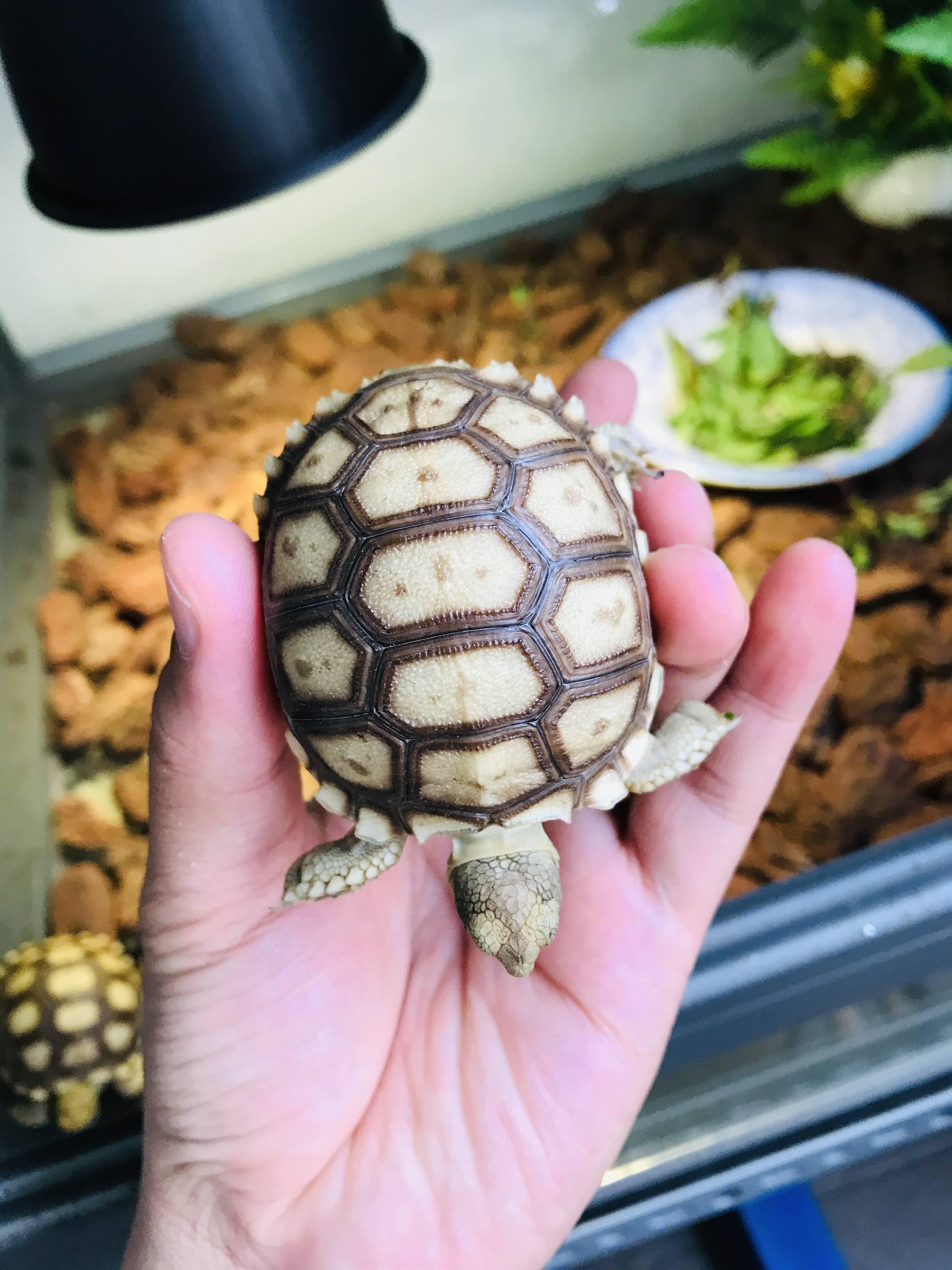 Giá Rùa Sulcata - Rùa Châu Phi Nhập Khẩu Bao Nhiêu? Cập Nhật 2020 12