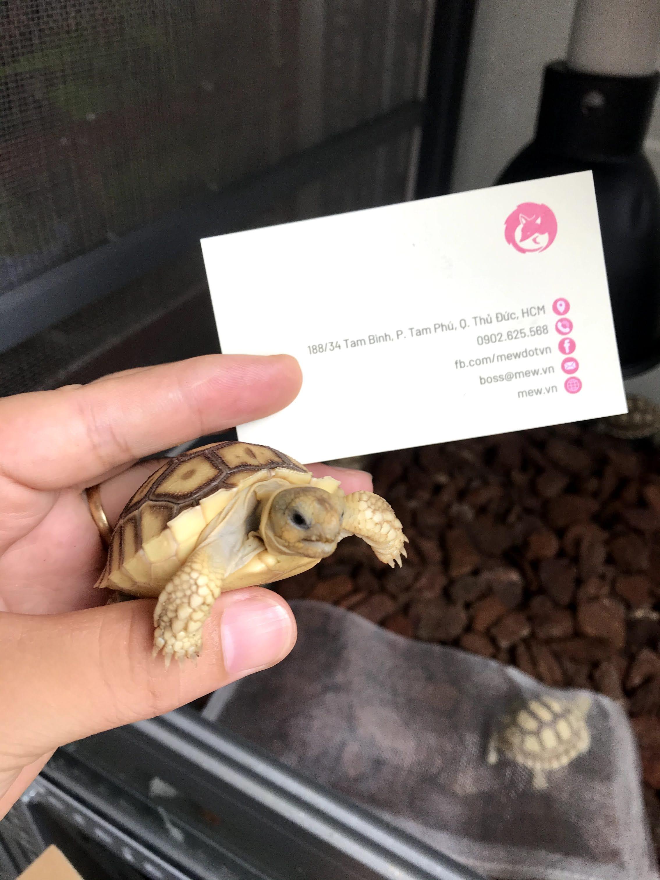 Giá Rùa Sulcata - Rùa Châu Phi Nhập Khẩu Bao Nhiêu? Cập Nhật 2020 13