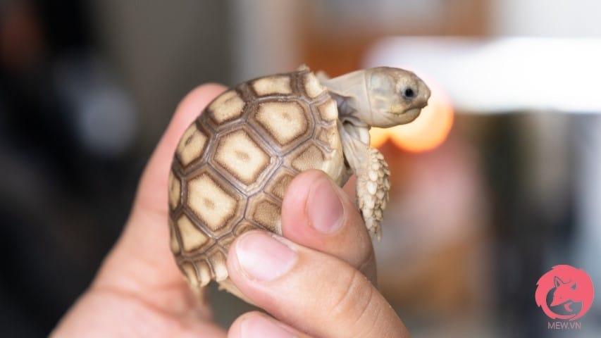 Rùa Sulcata baby