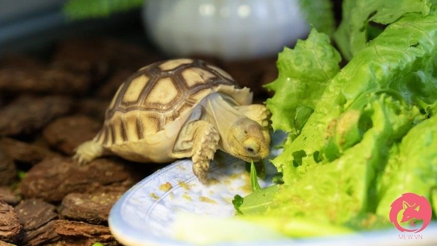 Rùa Sulcata giá bao nhiêu?
