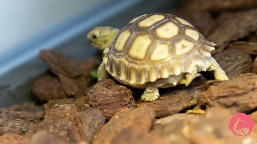 Mua rùa Sulcata tại Mew.vn