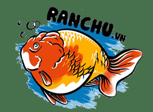 Trại cá vàng Ranchu, Ryukin, Yuanbao, Oranda cao cấp hàng đầu tại Việt Nam