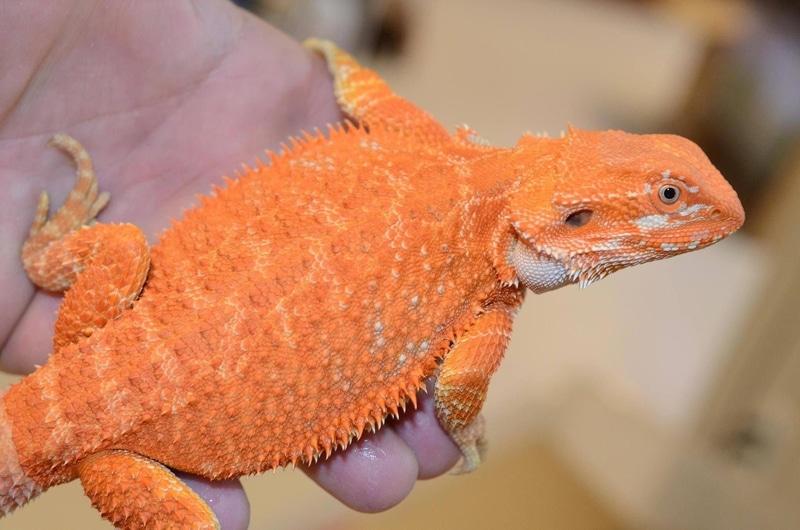 Rồng Úc Hypo Orange