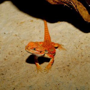 Rồng Úc Red Hypo