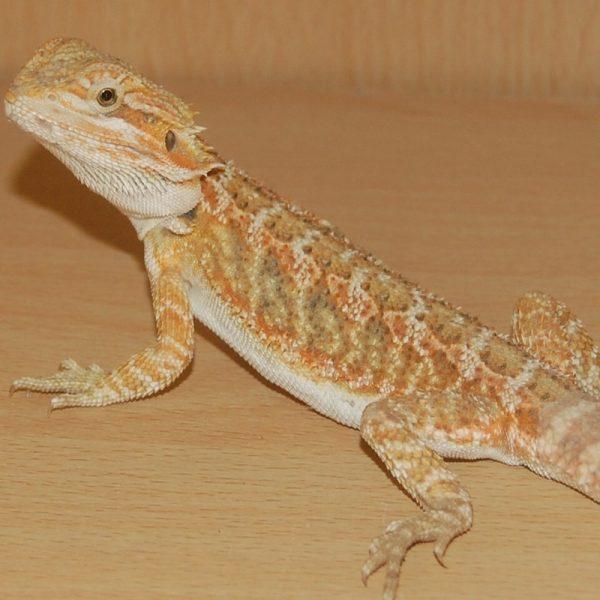 Hypo Orange Bearded Dragon