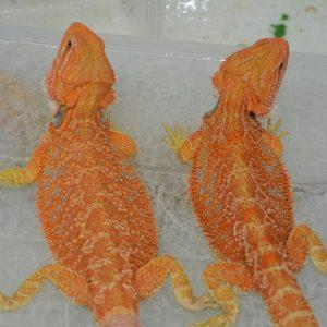 1 Cặp Rồng Úc Hypo