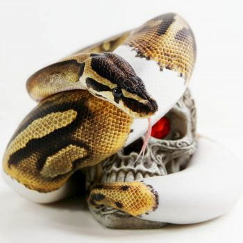 Trăn Bóng - Ball Python