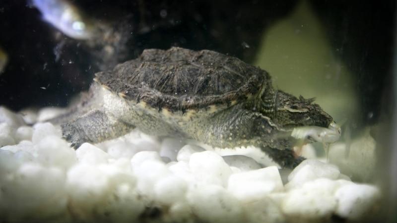 thức ăn của rùa common