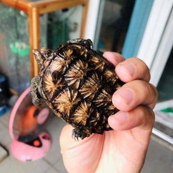 Rùa Common Snapping Mai Vàng Baby 13