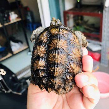 Rùa Common Snapping Mai Vàng Baby 15
