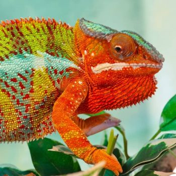 Tắc Kè Hoa - Chameleon