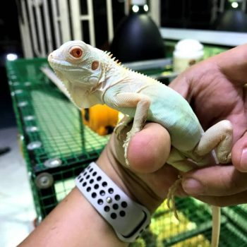 Rồng Nam Mỹ Trắng Snow Iguana 1