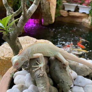Rồng Nam Mỹ Trắng Snow Iguana 2