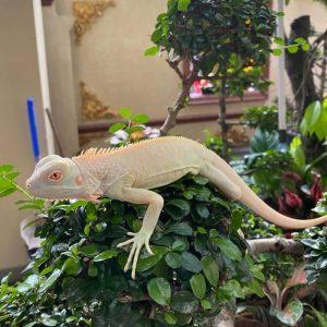 Rồng Nam Mỹ Trắng Snow Iguana 3