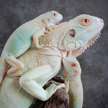 Rồng Nam Mỹ Trắng Snow Iguana 5