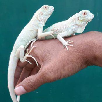 Rồng Nam Mỹ Trắng Snow Iguana 6