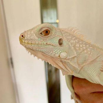 Rồng Nam Mỹ Trắng Snow Iguana 7