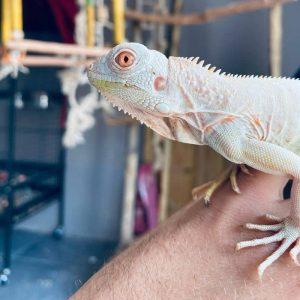 Rồng Nam Mỹ Trắng Snow Iguana 8