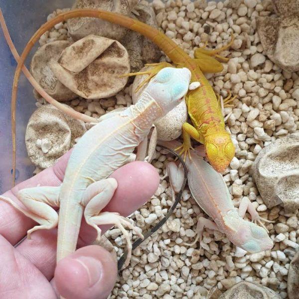 Rồng Nam Mỹ Trắng Snow Iguana 9