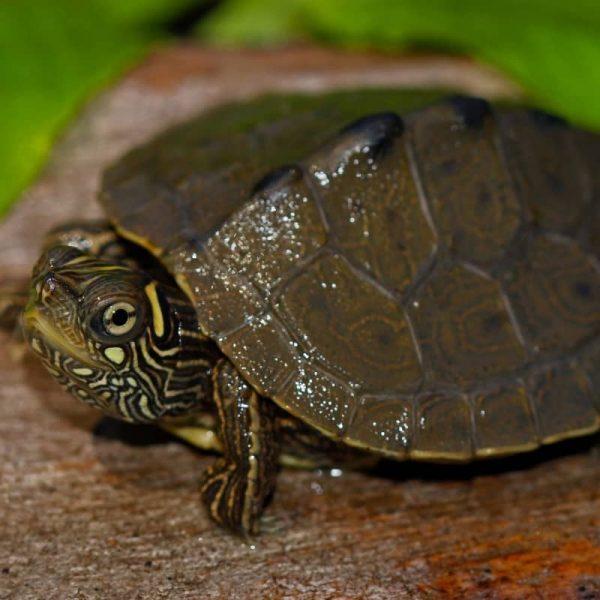 Rùa Bản Đồ Map Turtle 1