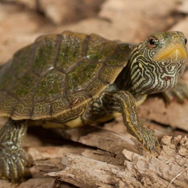 Rùa Bản Đồ Map Turtle 10
