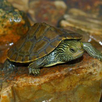 Rùa Bản Đồ Map Turtle 11