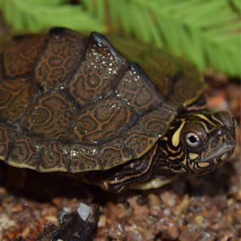Rùa Bản Đồ Map Turtle 12
