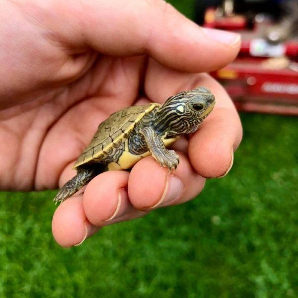 Rùa Bản Đồ Map Turtle 2