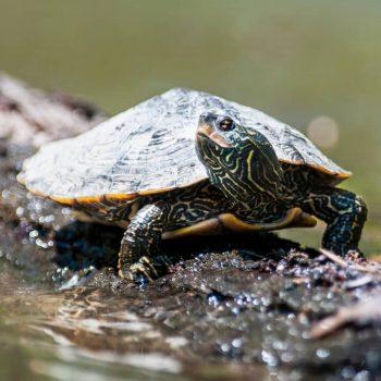 Rùa Bản Đồ Map Turtle 4