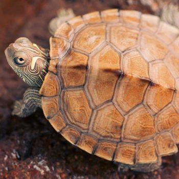 Rùa Bản Đồ Map Turtle 5