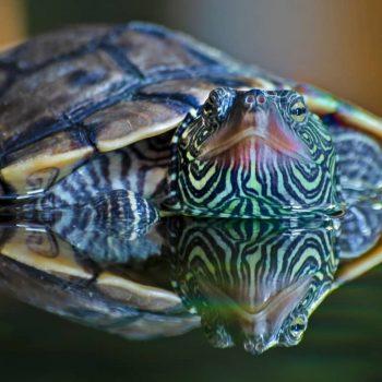 Rùa Bản Đồ Map Turtle 6
