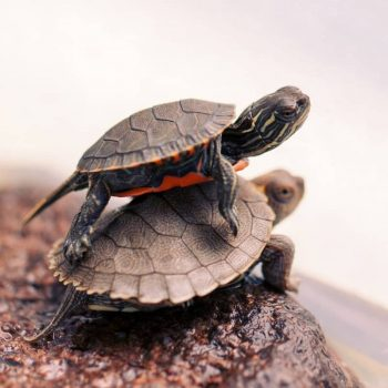 Rùa Bản Đồ Map Turtle 7